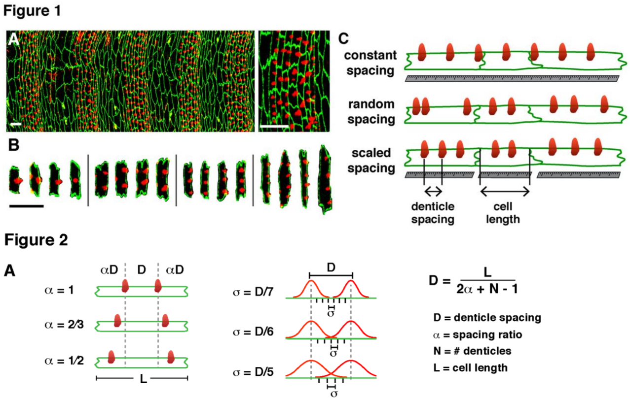 Thomas Fuchs Lab Publications Inductive Proximity Sensor Circuit Diagram Sandhya Power Solutions Scaling Of Cytoskeletal Organization With Cell Size In Drosophila